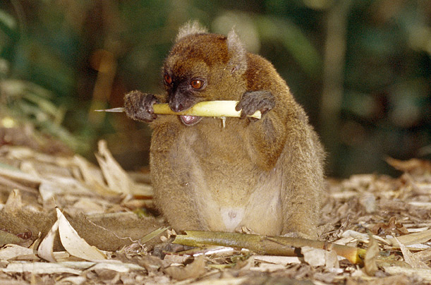 The Greater Bamboo Lemur chewing a stalk is on the extinction watch